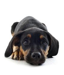 puppy doberman